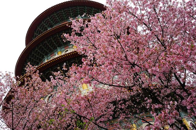 旧正月に見頃、台湾各地で桜フェスティバル開催