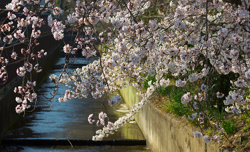 ホットリンク、訪日中国人の花見需要を発表