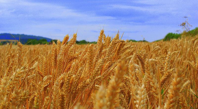 日本の農林水産省、アメリカからの白小麦の輸入を再開