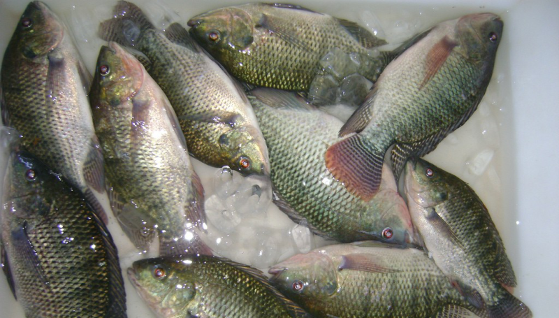 やけどに対する特効薬は魚の皮!? ブラジルで治験開始