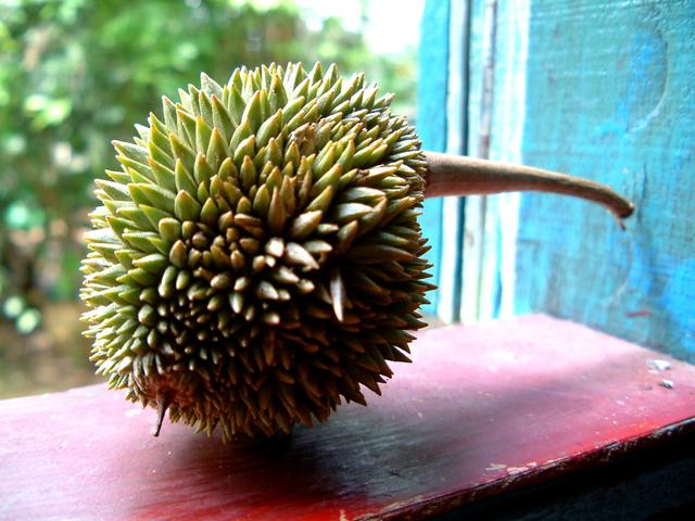 マレーシア、今年のドリアンは例年より早めの登場
