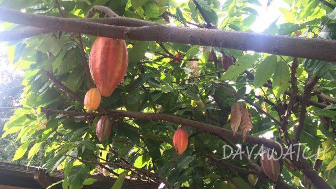 ダバオ市のマラゴスチョコレート、国際コンテストで銀賞を受賞