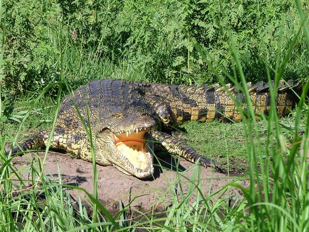 マレーシア:クアンタンで3メートルのクロコダイルが出現