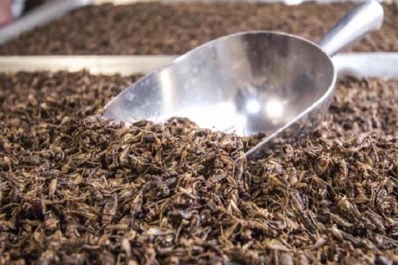 人気投資「コオロギ」養殖も盛んに 食用たんぱく質源として