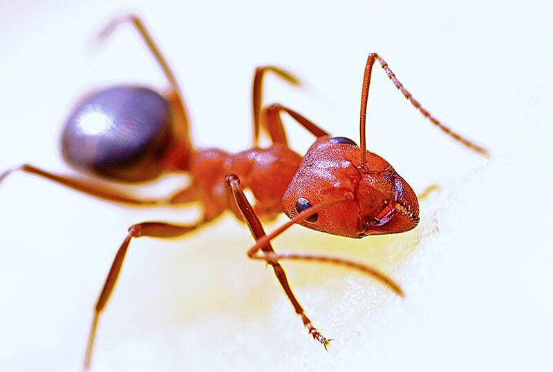 オーストラリア・ヒアリに続いて電気アリも再び発見される