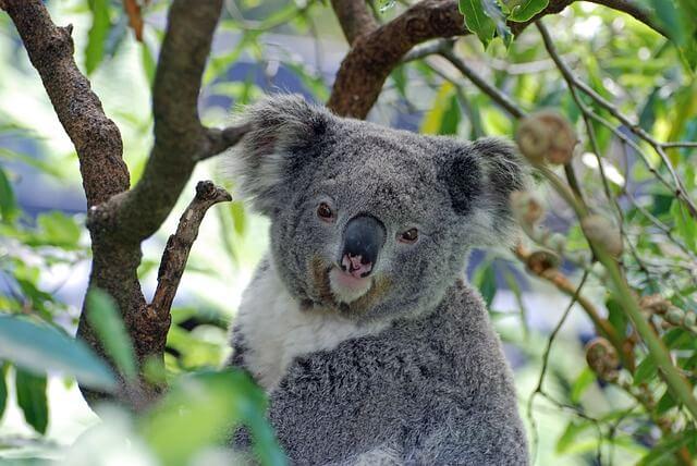 オーストラリア・珍しい白コアラの赤ちゃんの名前はSnowに決定
