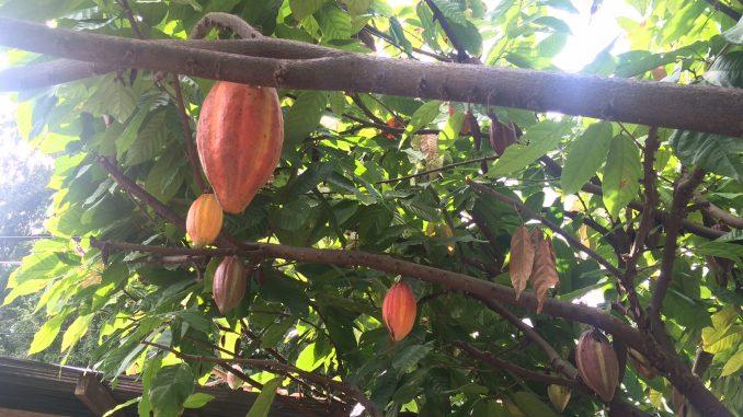 日系企業がダバオ州に2つのチョコレート工場を建設予定