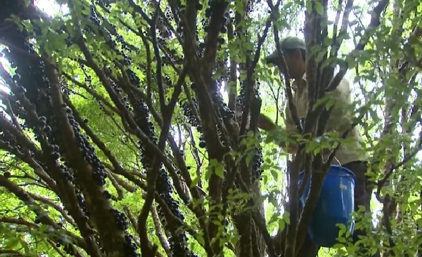 ブラジルの名物フルーツ、ジャブチカーバの収穫期到来