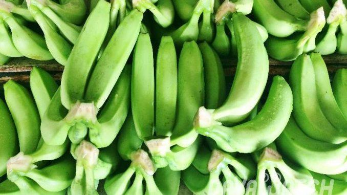 フィリピン・ダバオでバナナのクローン苗使用を喚起 病害防止のため