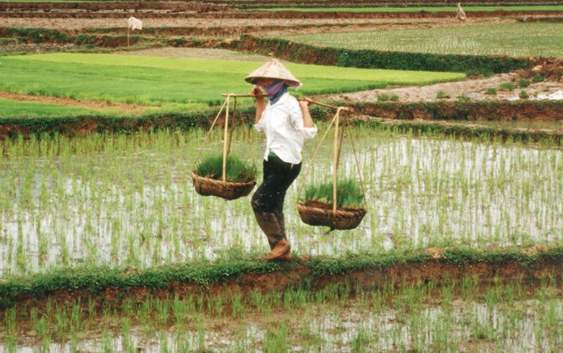 JICA、ミャンマーの主食である米の品種改良を支援  イネゲノム育種計画を実施