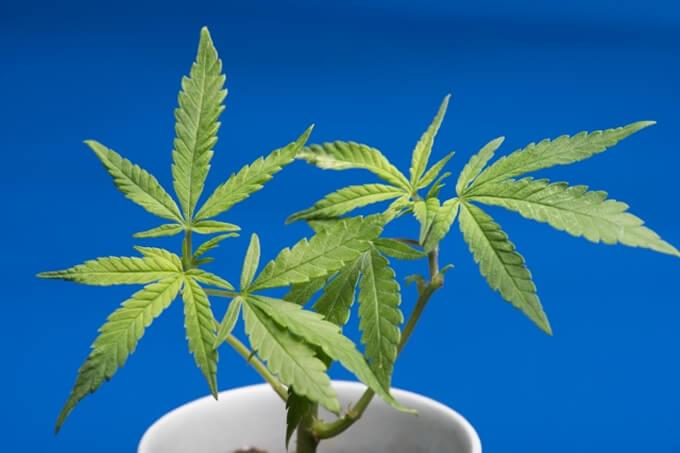 タイで医療大麻解禁へ向けた法案が閣議で承認 一方バンコクでは大麻生産工場を摘発