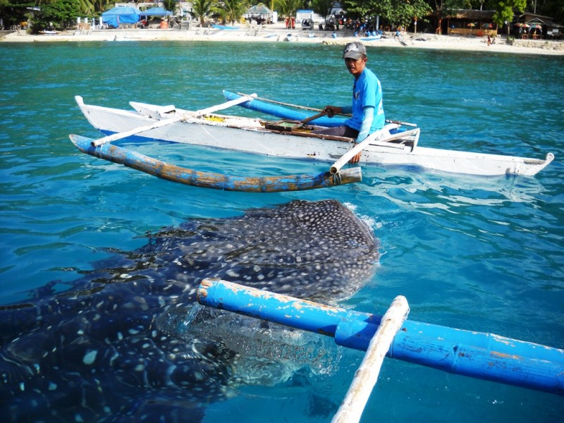 フィリピン・セブ島で人気の「ジンベイザメウォッチング」 1日の観光客数を制限へ