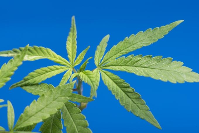 医療大麻解禁目前のタイ、YouTubeで大麻を宣伝した男が逮捕 「もう販売出来ると思った」