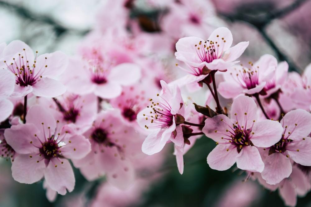 タイ人は桜を求めて4月に日本へ!タイ正月休暇に合わせて