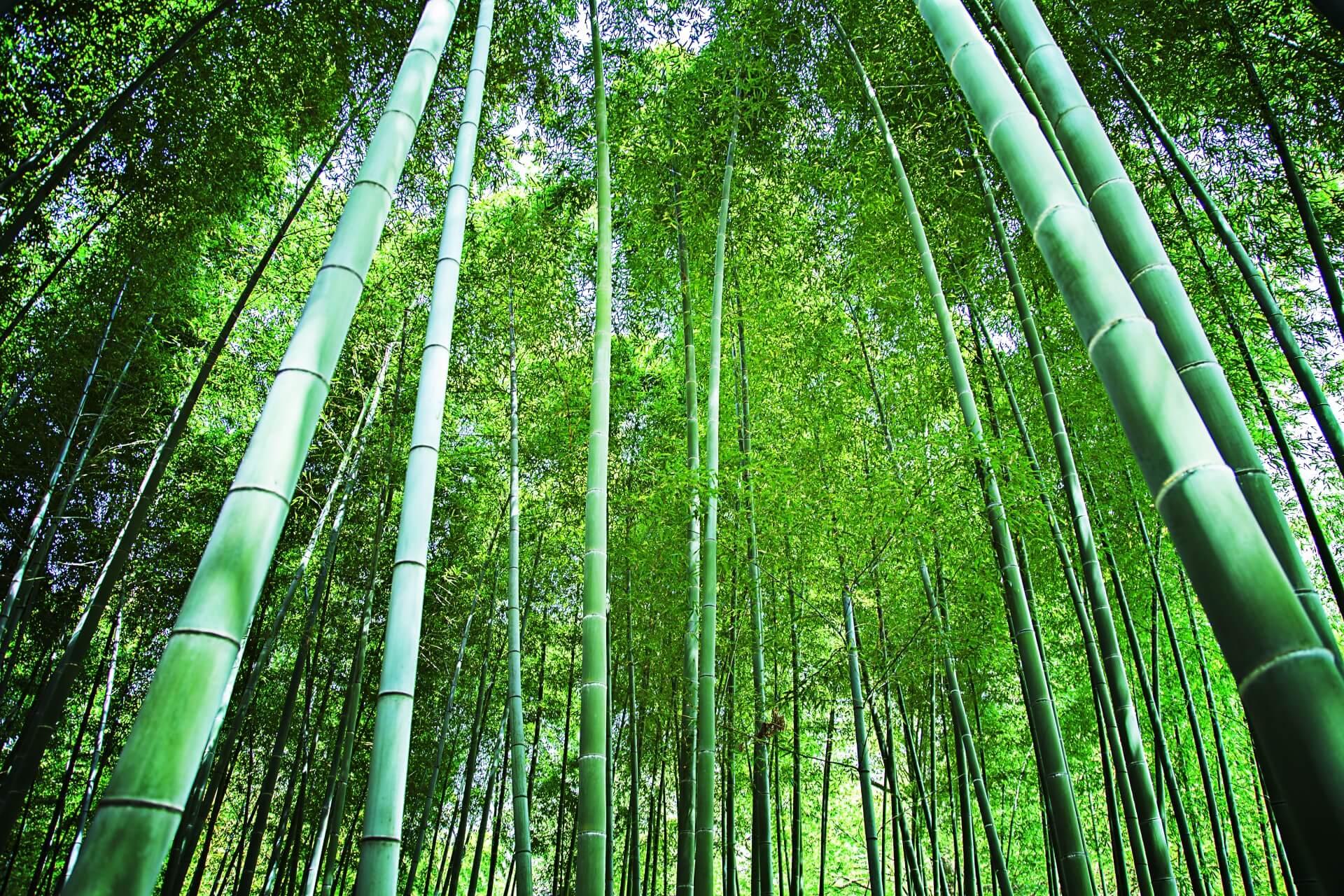 フィリピン:ダバオの竹で環境と経済を活性化、起業家が竹の植林を促進