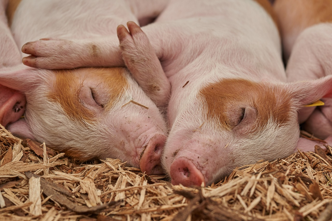アジアで流行中のアフリカ豚コレラ、フィリピンのダバオ市では確認されず