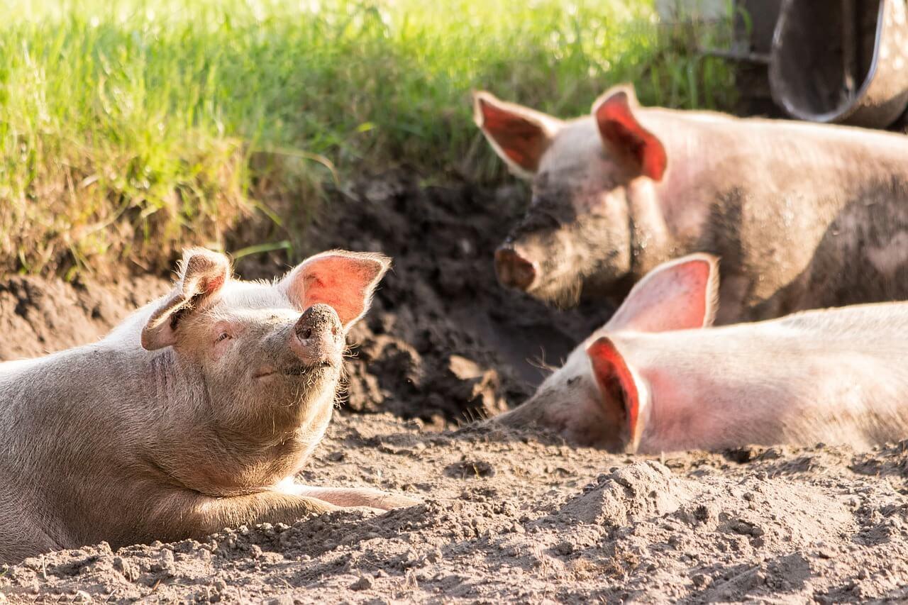 フィリピン・ダバオ市、アフリカ豚コレラ対策専門部隊を結成へ
